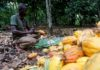 Various Diseases Caused Cocoa Production in the Ivory Coast